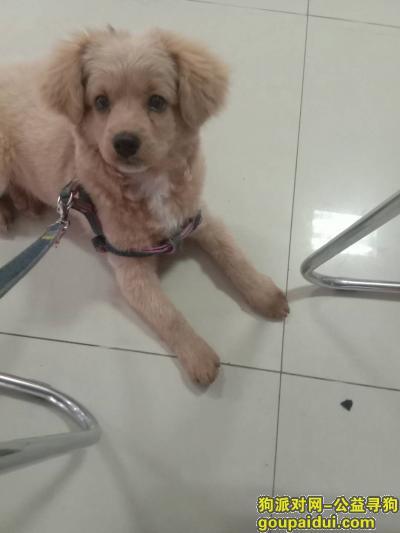 淮安丢狗,5月14号在乐园红绿灯路口丢失一条小金毛,它是一只非常可爱的宠物狗狗,希望它早日回家,不要变成流浪狗。