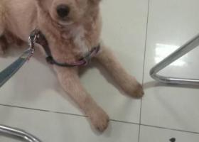 寻狗启示,5月14号在乐园红绿灯路口丢失一条小金毛,它是一只非常可爱的宠物狗狗,希望它早日回家,不要变成流浪狗。