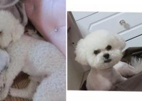 寻狗启示,义乌九联丢了只比熊狗,它是一只非常可爱的宠物狗狗,希望它早日回家,不要变成流浪狗。