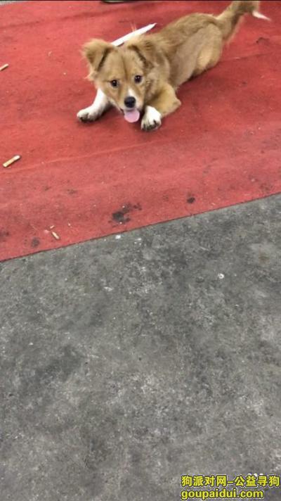 ,寻狗启示串串狗(金色毛发),它是一只非常可爱的宠物狗狗,希望它早日回家,不要变成流浪狗。