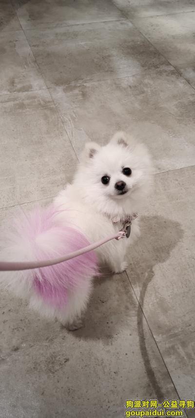 义乌找狗,长春社区工人北路丢博美犬一条,染粉色尾巴,它是一只非常可爱的宠物狗狗,希望它早日回家,不要变成流浪狗。