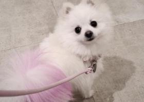 寻狗启示,长春社区工人北路丢博美犬一条,染粉色尾巴,它是一只非常可爱的宠物狗狗,希望它早日回家,不要变成流浪狗。