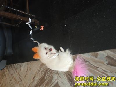 郑州找狗主人,在郑州金水区未来路纬四路捡到银狐,它是一只非常可爱的宠物狗狗,希望它早日回家,不要变成流浪狗。