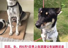 寻狗启示,2019-04-30广州南洲路沥滘公交站附近走失0黑白土狗母,它是一只非常可爱的宠物狗狗,希望它早日回家,不要变成流浪狗。