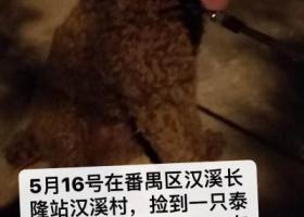 寻狗启示,番禺汉溪村捡到一只泰迪有,请狗主人及时与我联系,它是一只非常可爱的宠物狗狗,希望它早日回家,不要变成流浪狗。