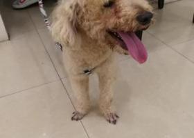 寻狗启示,中型3岁以上泰迪寻主,它是一只非常可爱的宠物狗狗,希望它早日回家,不要变成流浪狗。