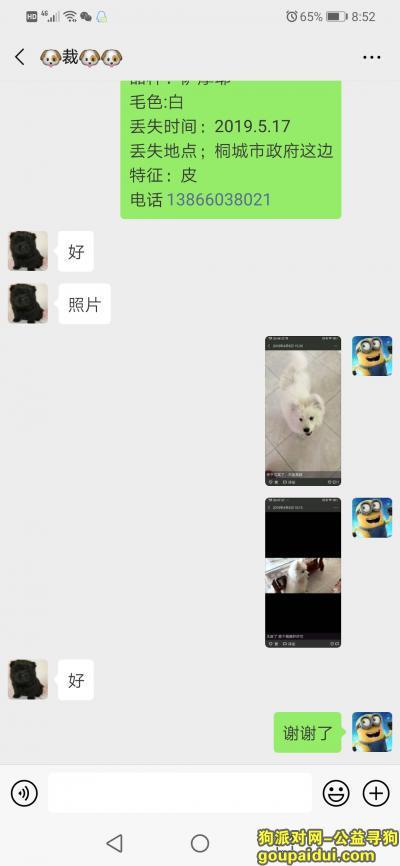 桐城寻狗启示,6个月大的萨摩耶急急,它是一只非常可爱的宠物狗狗,希望它早日回家,不要变成流浪狗。