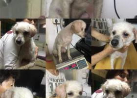 寻狗启示,白色贵宾狗狗着急寻找主人,它是一只非常可爱的宠物狗狗,希望它早日回家,不要变成流浪狗。