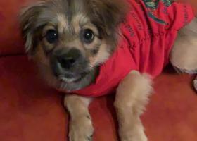 寻狗启示,找狗,它是一只非常可爱的宠物狗狗,希望它早日回家,不要变成流浪狗。