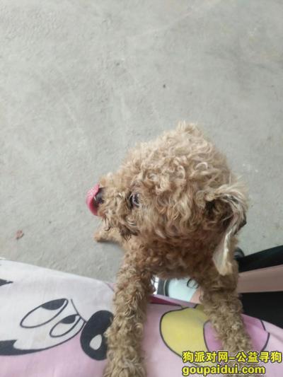 ,寻狗启示,泰迪狗走失,请帮忙谢谢!,它是一只非常可爱的宠物狗狗,希望它早日回家,不要变成流浪狗。