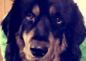 寻狗启示,厚街丢失狗狗,请好心人帮忙留意,它是一只非常可爱的宠物狗狗,希望它早日回家,不要变成流浪狗。