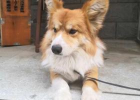 寻狗启示,肥东县老街龙泉路捡到一只长毛柯基,它是一只非常可爱的宠物狗狗,希望它早日回家,不要变成流浪狗。