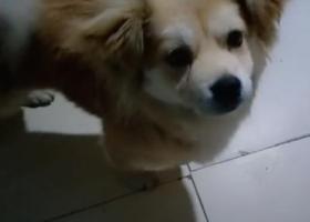 寻狗启示,2019年5月19号,一直棕色小狗丢失,请好心人士帮忙寻找一下,它是一只非常可爱的宠物狗狗,希望它早日回家,不要变成流浪狗。