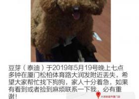 寻狗启示,厦门松柏附近寻泰迪狗,它是一只非常可爱的宠物狗狗,希望它早日回家,不要变成流浪狗。
