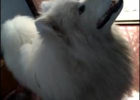 寻狗启示,寻找大型萨摩耶的主人,它是一只非常可爱的宠物狗狗,希望它早日回家,不要变成流浪狗。