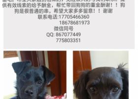 寻狗启示,东营寻狗,丢失2个黑色小狗,必有重谢,它是一只非常可爱的宠物狗狗,希望它早日回家,不要变成流浪狗。