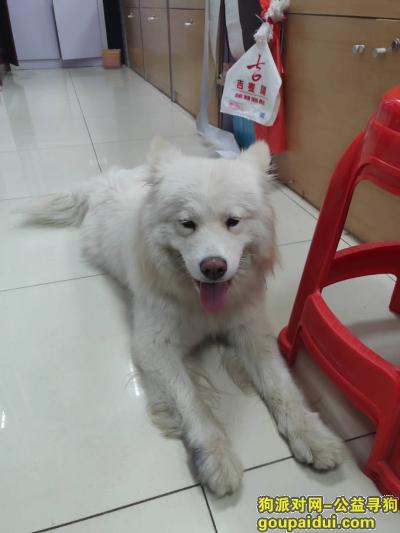 无锡捡到狗,无锡锡山区查桥吉麦隆超市捡到一只萨摩耶,它是一只非常可爱的宠物狗狗,希望它早日回家,不要变成流浪狗。
