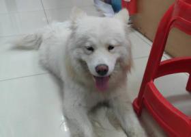 寻狗启示,无锡锡山区查桥吉麦隆超市捡到一只萨摩耶,它是一只非常可爱的宠物狗狗,希望它早日回家,不要变成流浪狗。