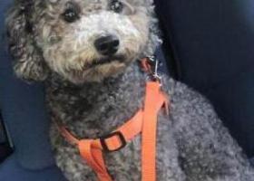 寻狗启示,已找到主人,它是一只非常可爱的宠物狗狗,希望它早日回家,不要变成流浪狗。