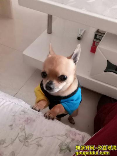 淮南寻狗启示,寻找丢失的爱宠吉娃娃,它是一只非常可爱的宠物狗狗,希望它早日回家,不要变成流浪狗。