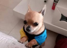寻狗启示,寻找丢失的爱宠吉娃娃,它是一只非常可爱的宠物狗狗,希望它早日回家,不要变成流浪狗。