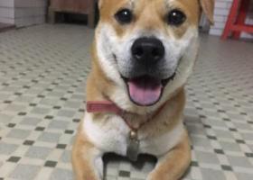 寻狗启示,白云永泰寻黄色右耳立左耳折串串弟弟,它是一只非常可爱的宠物狗狗,希望它早日回家,不要变成流浪狗。