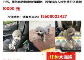寻狗启示,成都南门找寻2岁灰贵弟弟,它是一只非常可爱的宠物狗狗,希望它早日回家,不要变成流浪狗。
