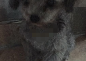 寻狗启示,灰色泰迪狗找主人啦—龙泉驿,它是一只非常可爱的宠物狗狗,希望它早日回家,不要变成流浪狗。