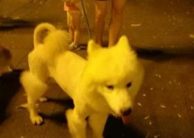 寻狗启示,萨摩耶寻主,(广州市越秀区),它是一只非常可爱的宠物狗狗,希望它早日回家,不要变成流浪狗。
