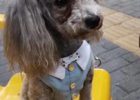 寻狗启示,东莞南城蚝岗村内灰贵走失,它是一只非常可爱的宠物狗狗,希望它早日回家,不要变成流浪狗。