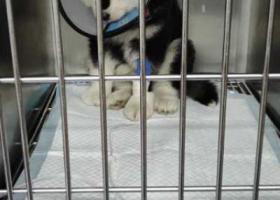 寻狗启示,黑白色阿拉斯加  小宝贝你在哪里  快点回来好不好,它是一只非常可爱的宠物狗狗,希望它早日回家,不要变成流浪狗。