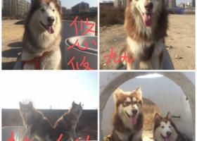 寻狗启示,寻狗启示:丢失地址唐山市丰润区韩城镇中门庄三村,它是一只非常可爱的宠物狗狗,希望它早日回家,不要变成流浪狗。