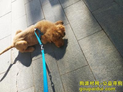 ,2019.5.22晚上十一点左右在廊坊万达附近走失一只三个月大的小金毛,它是一只非常可爱的宠物狗狗,希望它早日回家,不要变成流浪狗。