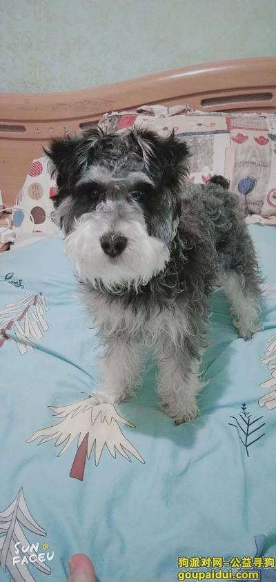 ,2019年5月18号下午六点多一只雪纳瑞在商丘市梁园区凯旋商城五交化丢失,它是一只非常可爱的宠物狗狗,希望它早日回家,不要变成流浪狗。