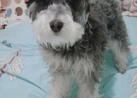 寻狗启示,2019年5月18号下午六点多一只雪纳瑞在商丘市梁园区凯旋商城五交化丢失,它是一只非常可爱的宠物狗狗,希望它早日回家,不要变成流浪狗。