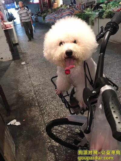 眉山找狗,寻比熊狗狗启示重金3000,它是一只非常可爱的宠物狗狗,希望它早日回家,不要变成流浪狗。