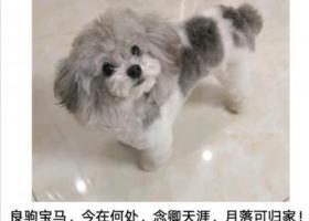 寻狗启示,济南寻狗 灰白花泰迪,它是一只非常可爱的宠物狗狗,希望它早日回家,不要变成流浪狗。