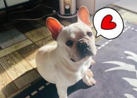 寻狗启示,苏家屯区碧桂园附近奶油法斗,它是一只非常可爱的宠物狗狗,希望它早日回家,不要变成流浪狗。