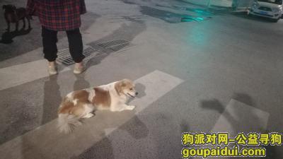 郑州捡到狗,看见一只流浪的花色小狗,它是一只非常可爱的宠物狗狗,希望它早日回家,不要变成流浪狗。