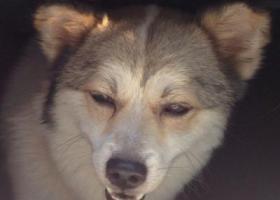 寻狗启示,帮忙找到它,主人十分着急,谢谢,它是一只非常可爱的宠物狗狗,希望它早日回家,不要变成流浪狗。