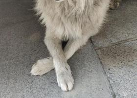 寻狗启示,白毛黄耳朵狗狗在此逗留,它是一只非常可爱的宠物狗狗,希望它早日回家,不要变成流浪狗。