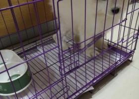 寻萨摩幼犬,年龄2个月