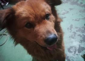 寻狗启示,狗狗名叫仔仔    前晚9点左右从家出去尿尿中途回来次又出去,它是一只非常可爱的宠物狗狗,希望它早日回家,不要变成流浪狗。
