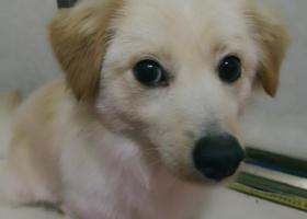 寻狗启示,在义乌新词大酒店丢失一岁狗狗,体型和柯基差不多大,它是一只非常可爱的宠物狗狗,希望它早日回家,不要变成流浪狗。