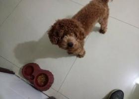 寻狗启示,寻找南湖千亩湖丢失的宠物狗泰迪,它是一只非常可爱的宠物狗狗,希望它早日回家,不要变成流浪狗。