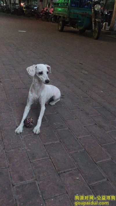 阜阳丢狗,寻狗启示5月24日下午四点多在东关吊桥路口丢了见到联系我必有重谢电话19956816558,它是一只非常可爱的宠物狗狗,希望它早日回家,不要变成流浪狗。