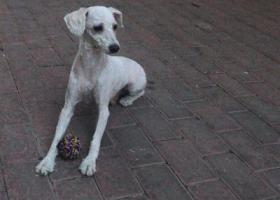 寻狗启示,寻狗启示5月24日下午四点多在东关吊桥路口丢了见到联系我必有重谢电话19956816558,它是一只非常可爱的宠物狗狗,希望它早日回家,不要变成流浪狗。