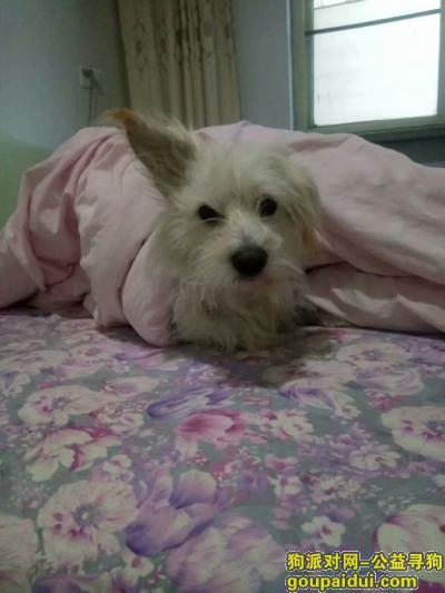,邢台桥东区顺德路5月26日晚10点多丢狗,它是一只非常可爱的宠物狗狗,希望它早日回家,不要变成流浪狗。