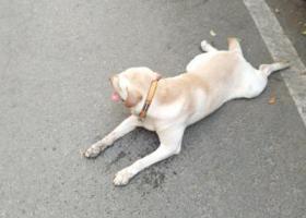 寻狗启示,福州市仓山区先农村爱犬拉布拉多丢失17750256119,它是一只非常可爱的宠物狗狗,希望它早日回家,不要变成流浪狗。