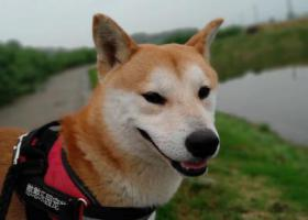 寻狗启示,柯南,你在哪里,过得好不好!,它是一只非常可爱的宠物狗狗,希望它早日回家,不要变成流浪狗。